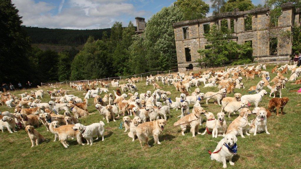 Mass gathering of golden retrievers in Highlands