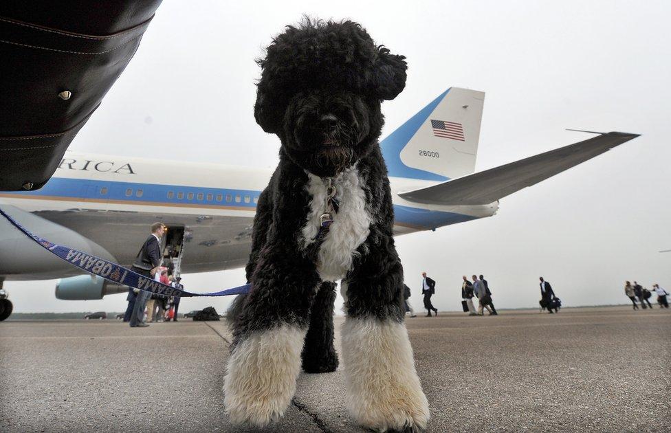 الكلب بو ينتظر ركوب طائرة الرئاسة في ماساتشوستس في عام 2009.