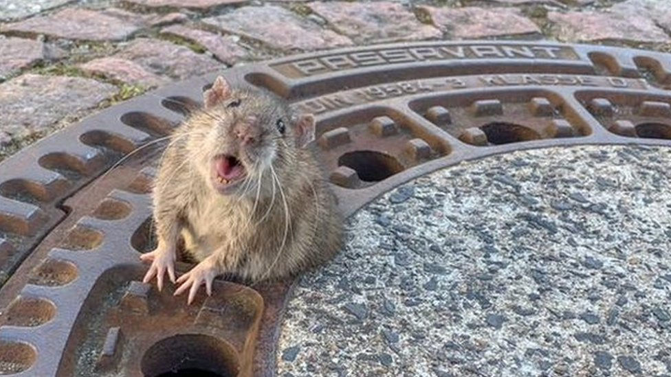 A rat looks directly at the camera with half its body emerging from a ventilation hole - and its belly spilling over the sides around the middle