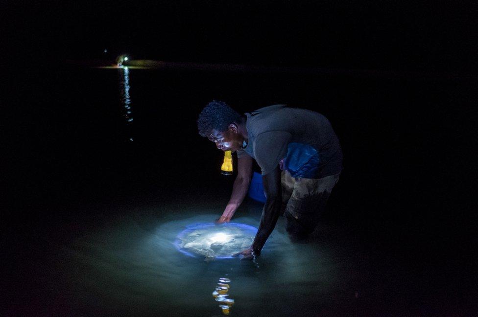 sakupljanje morskih krastavaca