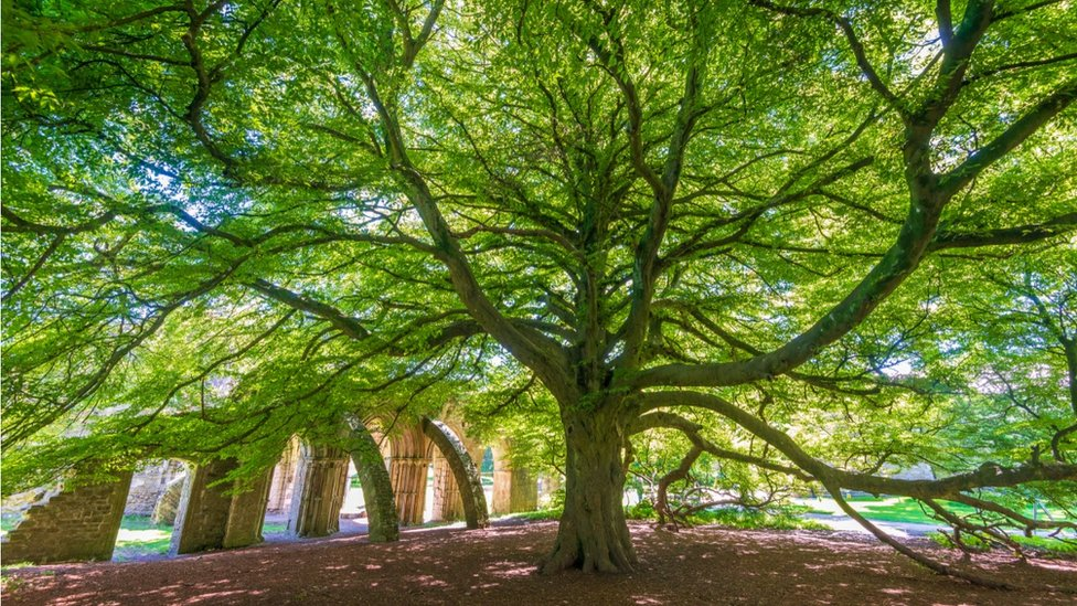 The Chapter House Tree