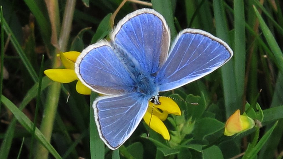 A common blue butterfly. It is a deep blue with a white rim around the wings.
