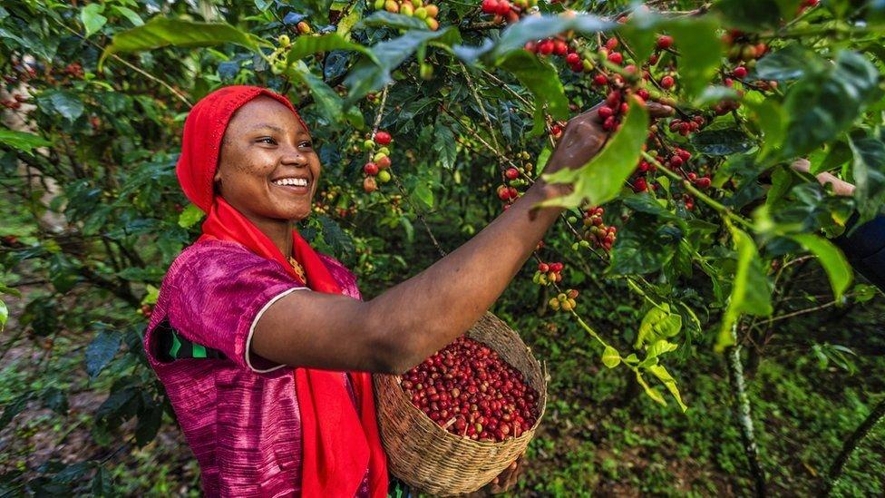 咖啡豆實際上是種子。它們生長在叫咖啡櫻桃的果子中