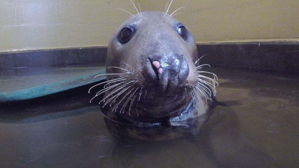 Plastic ring injury leaves Horsey seal Sir David 'weak'