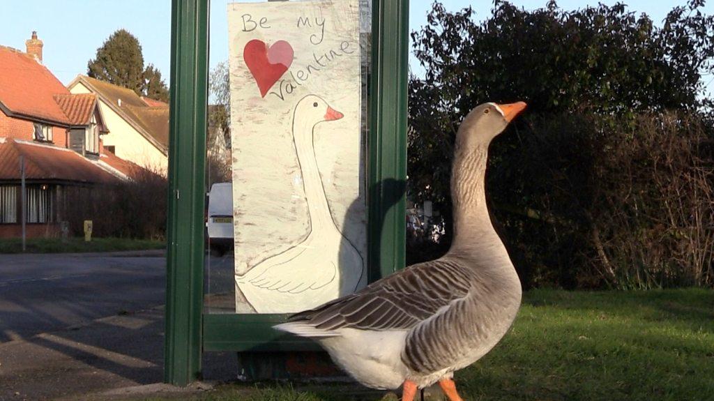 Gordon the Nayland goose has a secret Valentine