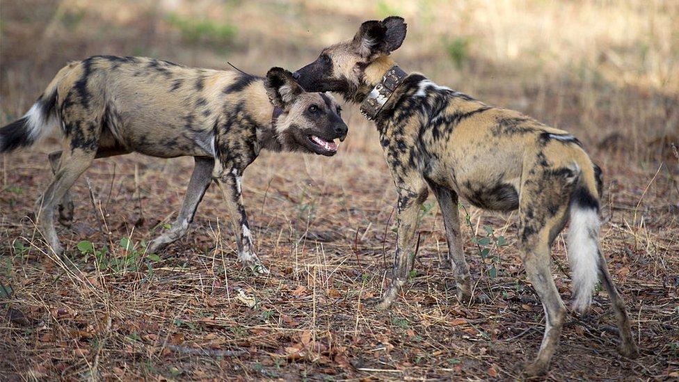 Cães pintados são retratados em 19 de novembro de 2012 no Parque Nacional de Hwange, no Zimbábue.