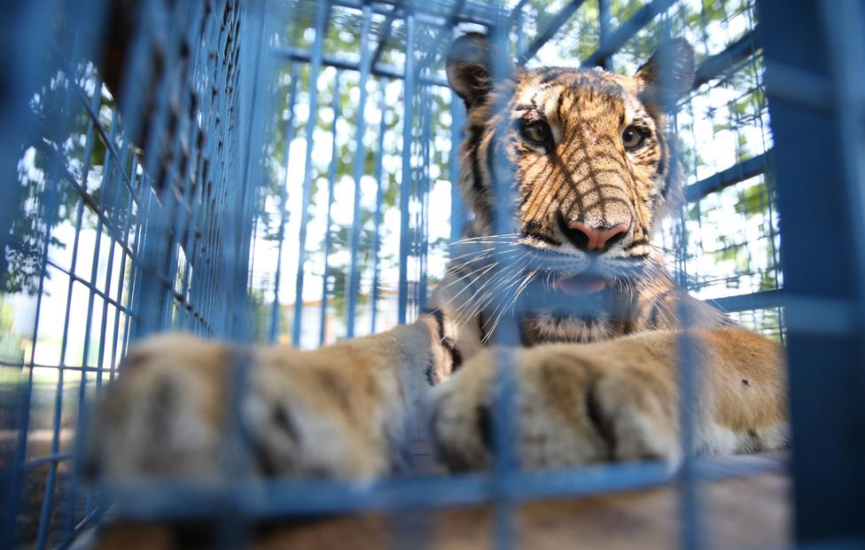 Jedan od spašenih tigrova, na proputovanju kroz Tursku