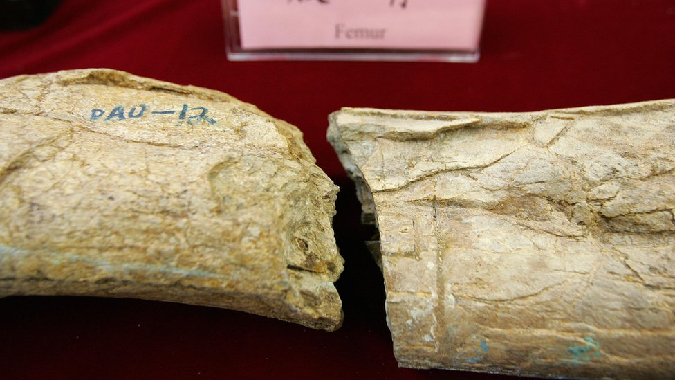Fossilized bones of a gigantic theropod dinosaur on display in Beijing