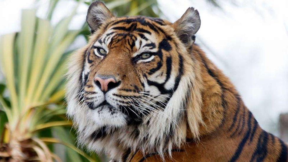 Edinburgh Zoo 'saddened' as Sumatran tiger Jambi dies aged 16