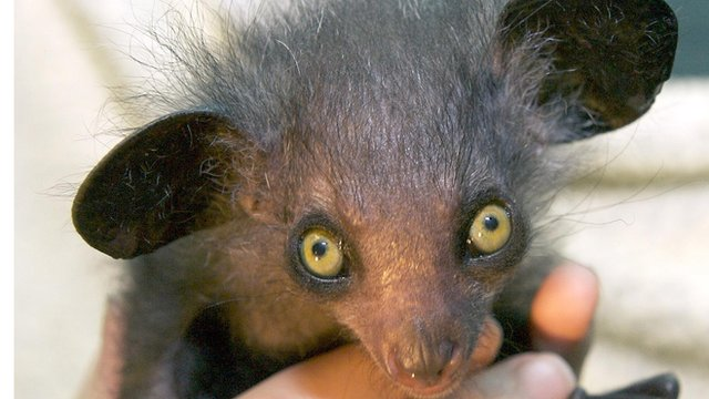 Baby aye aye lemur sighted for the first time