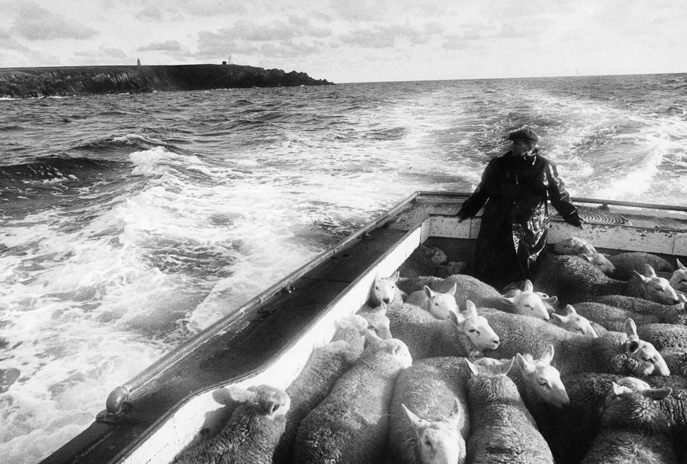 Sheep being brought from their grazing on the small island of Copinsay for sale in Kirkwall