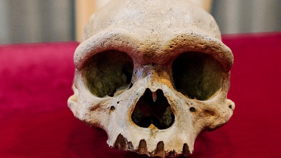 Cráneo del hombre dragón