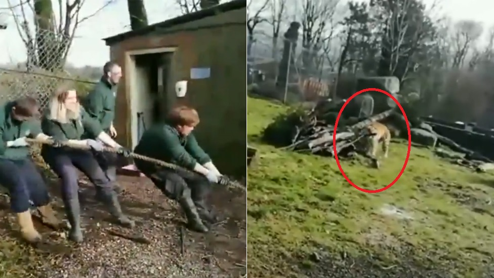 Dartmoor Zoo's lion and tiger tugs-of-war criticised
