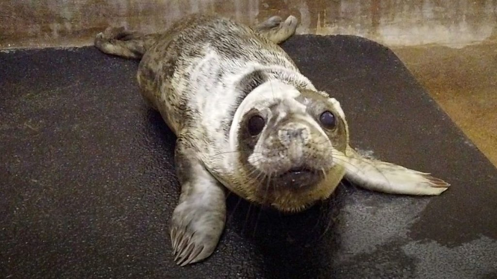 Seals at RSPCA East Winch need to pile on the pounds
