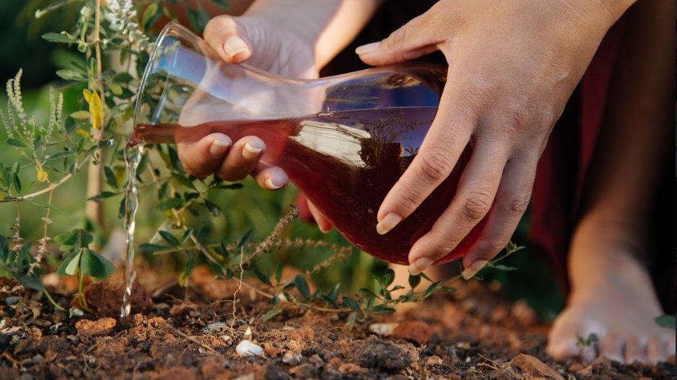 امرأة تستخدم دم الدورة ممزوجا بالماء لري النباتات