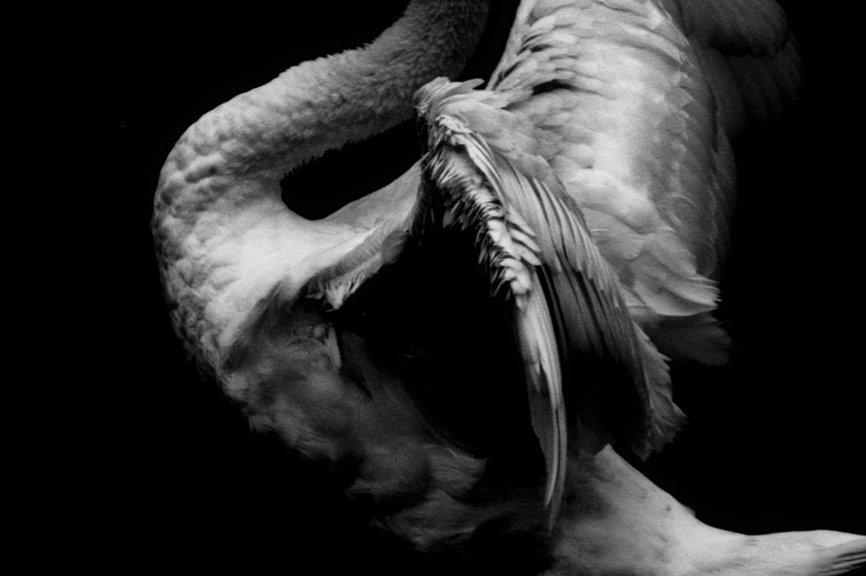 The back of a swan with its feathers