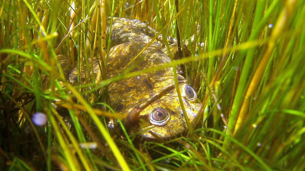 A Lake Titicaca giant frog in its habitat