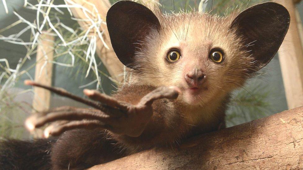 The strange aye-aye (Daubentonia) of Madagascar