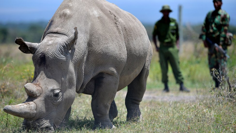 The rhino Najin and two guards behind her at Ol Pejeta Conservancy in central Kenya