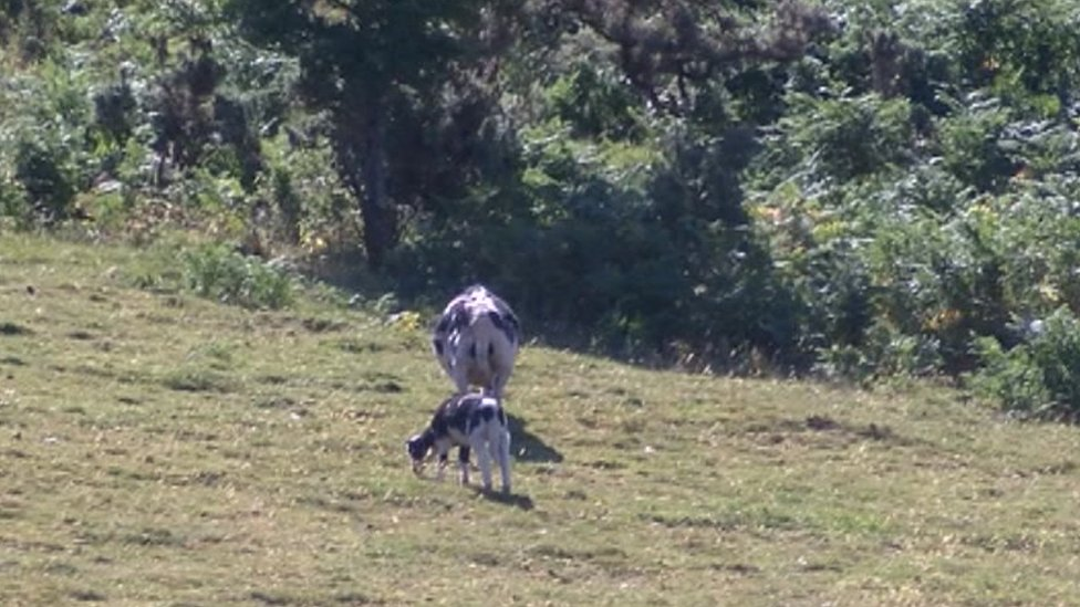 Picture of cow and calf on dried gazing land