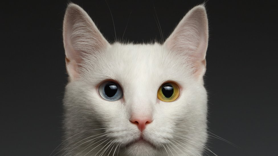 Gato con ojos de dos colores