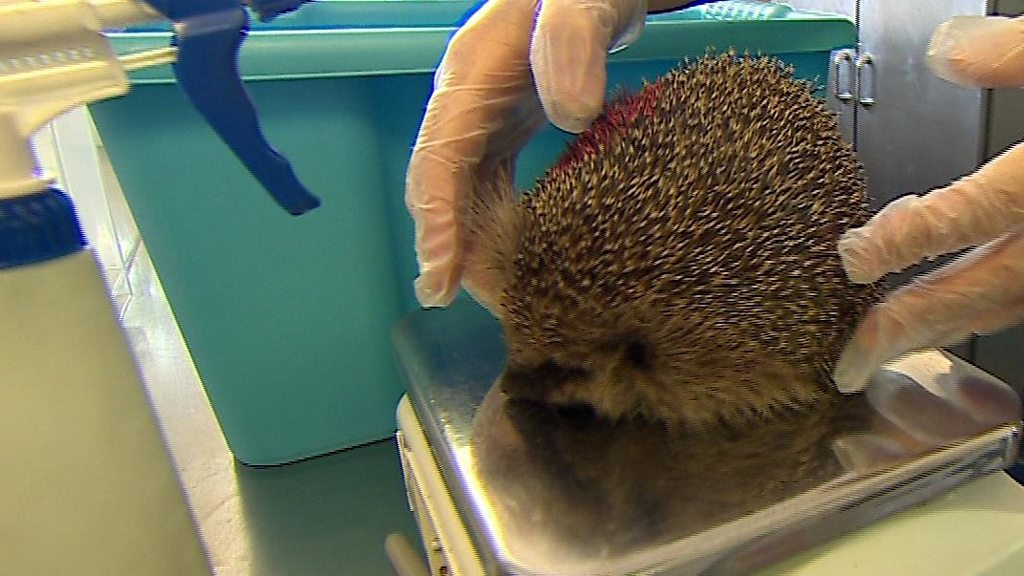 Hedgehogs: Thousands sign petition over rat trap threat