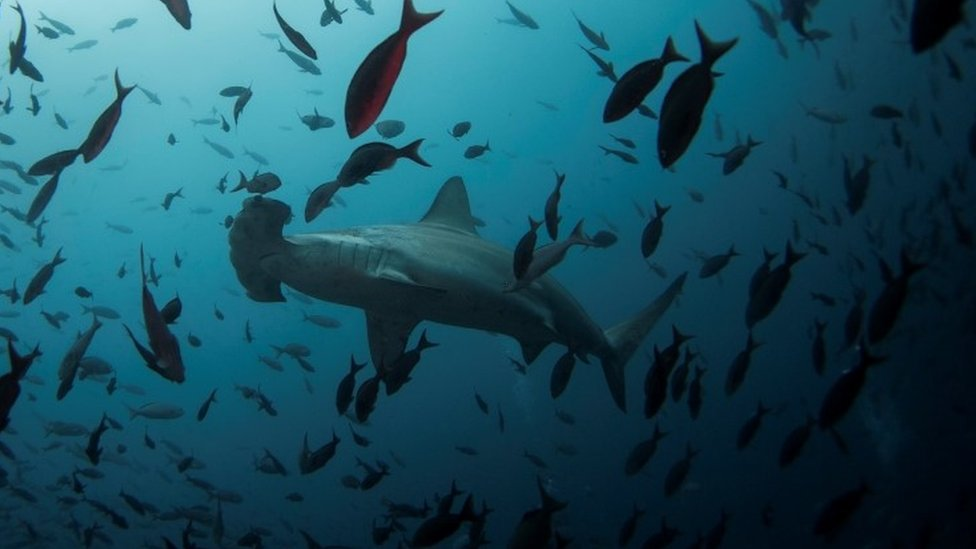 Sharks swim off the Galapagos Islands