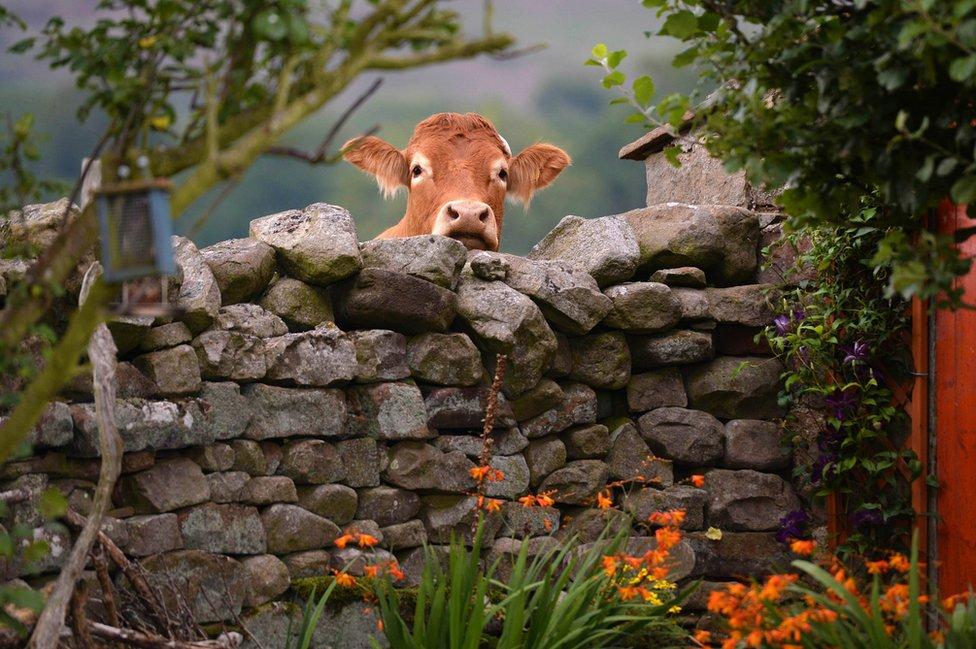 البقرة الفضولية