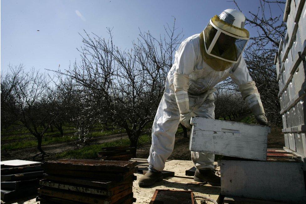 Las abejas juegan un papel crucial en la industria de la almendra de California.