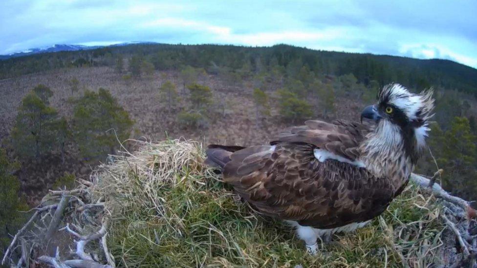 Pine marten poaches Loch Garten osprey's rotten eggs