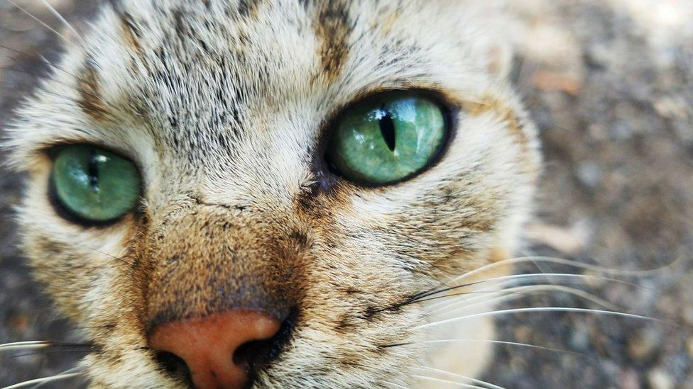 Ojos verdes de un gato