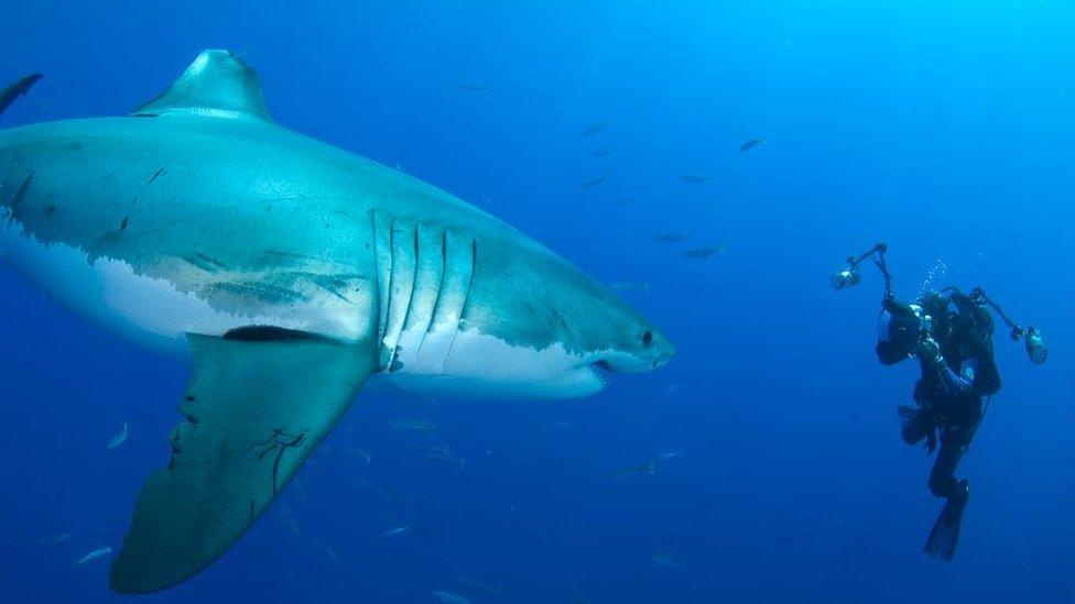 Amos Nachoum con tiburón