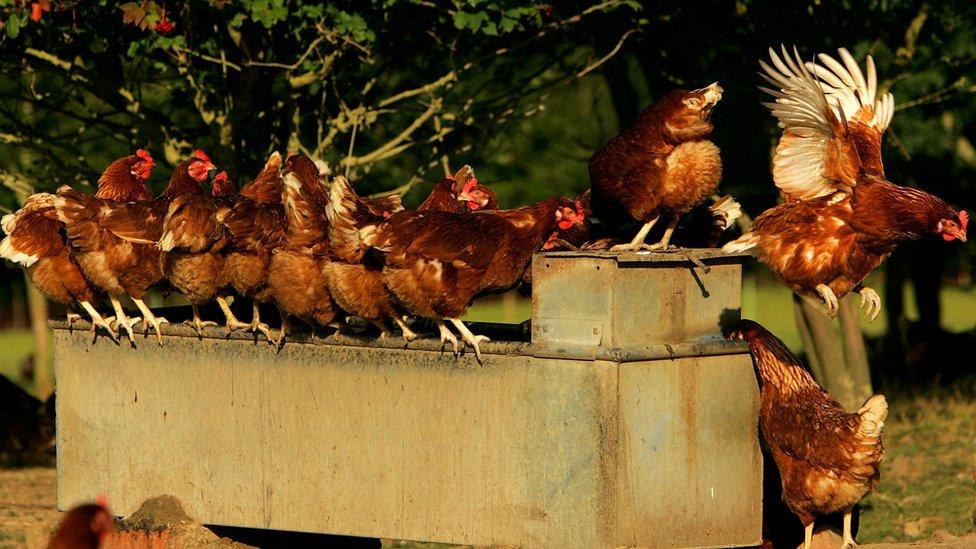 ينتج الدجاج ملايين البيض كل يوم