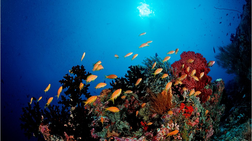 Coral reef with Anthias, Pseudanthias squamipinnis in Maldives, Indian Ocean, Meemu Atoll