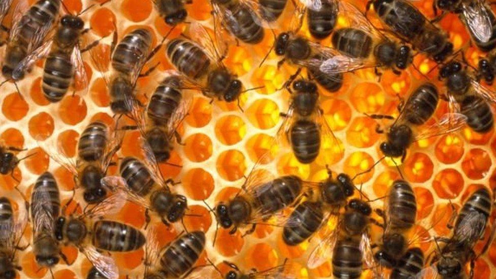 Lebah di sarangnya.