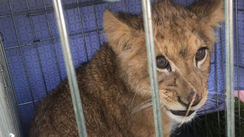 A lion cub was found in a cage in Tienhoven