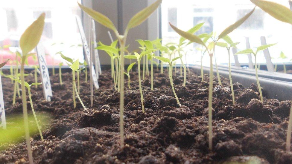 Seedlings in Mark Hodgson's flat