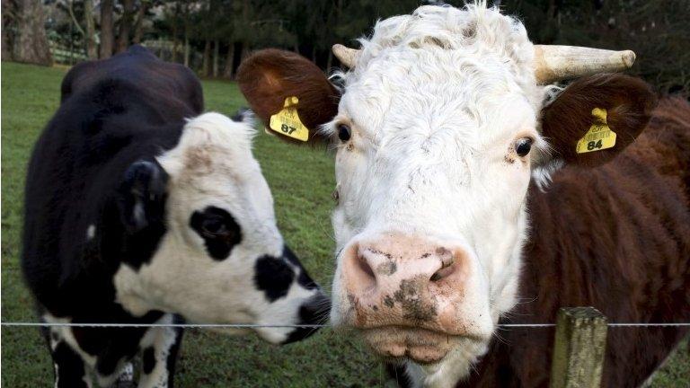 Dve krave