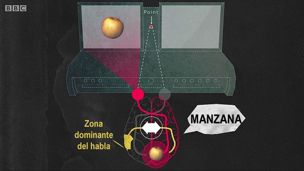 Panel mostrando manzana a la izquierda y cerebro de persona normal identificándola