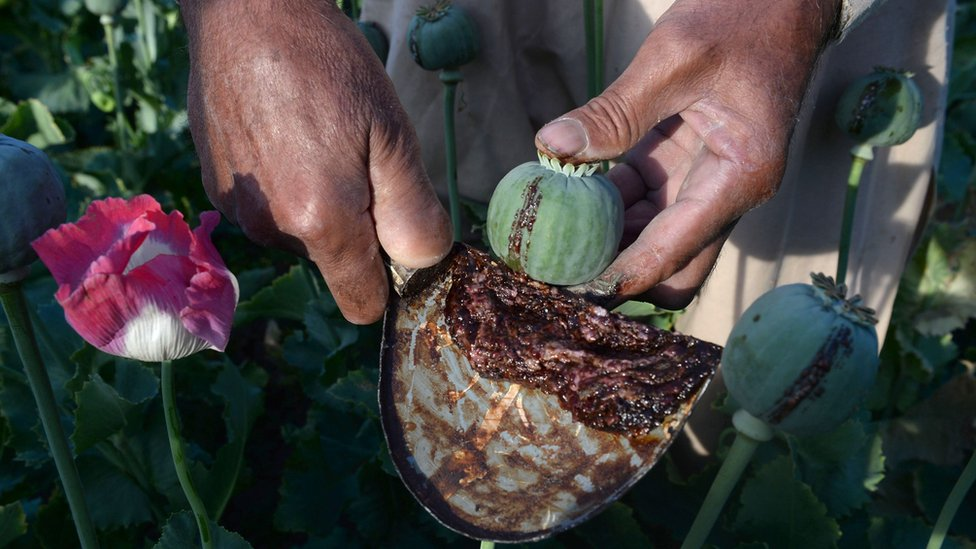 An Afghan farmer harvests opium sap from a poppy field in the Surkh Rod district of Nangarhar province, 21 April 2017