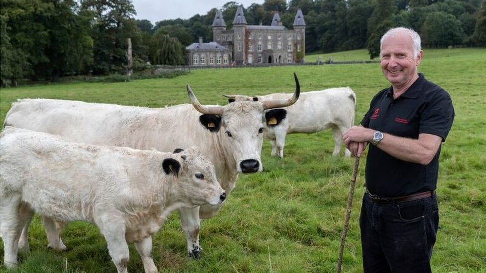 The White Park cattle