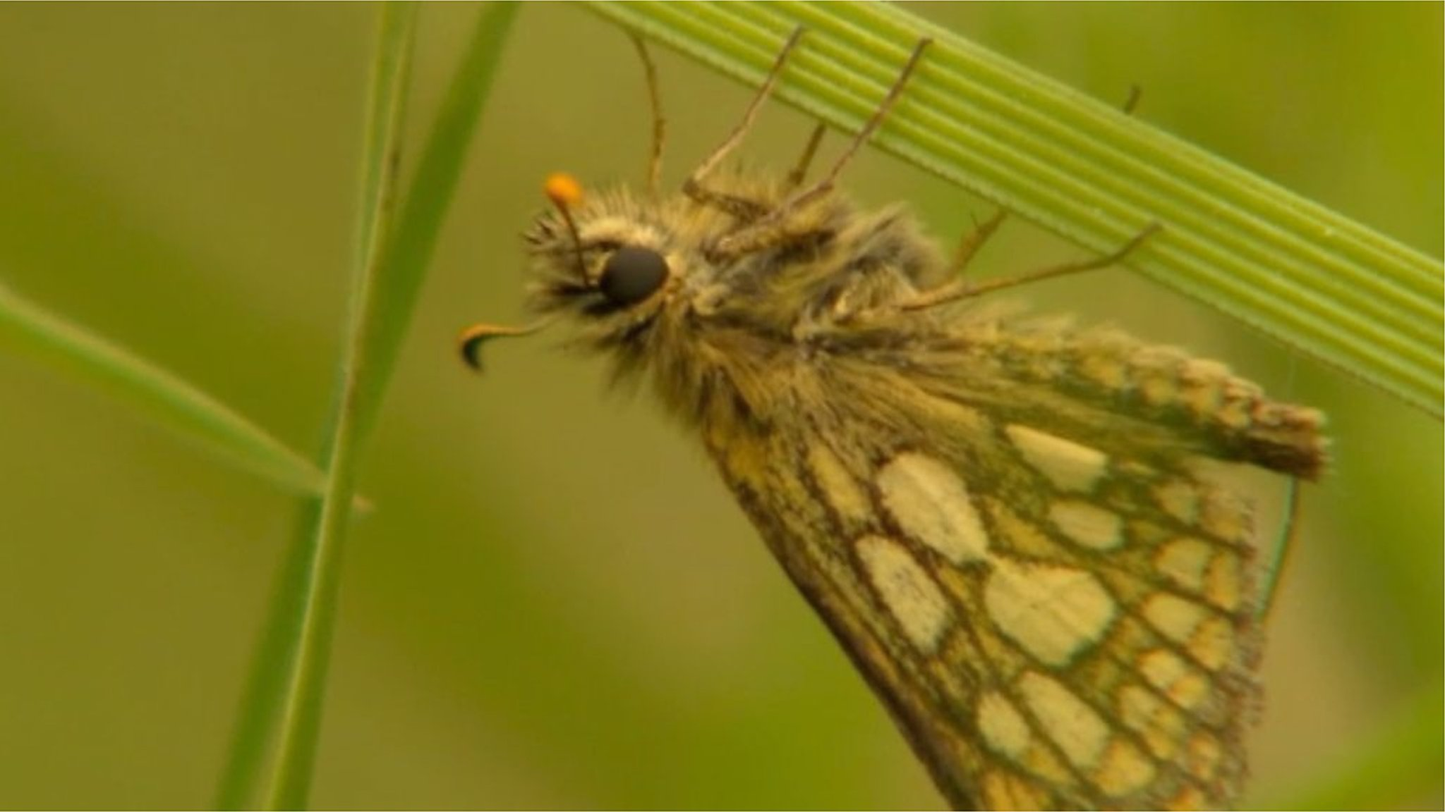 Butterfly extinct in England since 1976 makes return