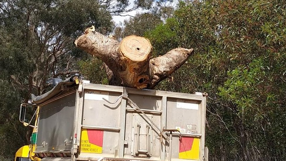 "Activist-supplied image of the cut-down ""Directions Tree"" in a truck"