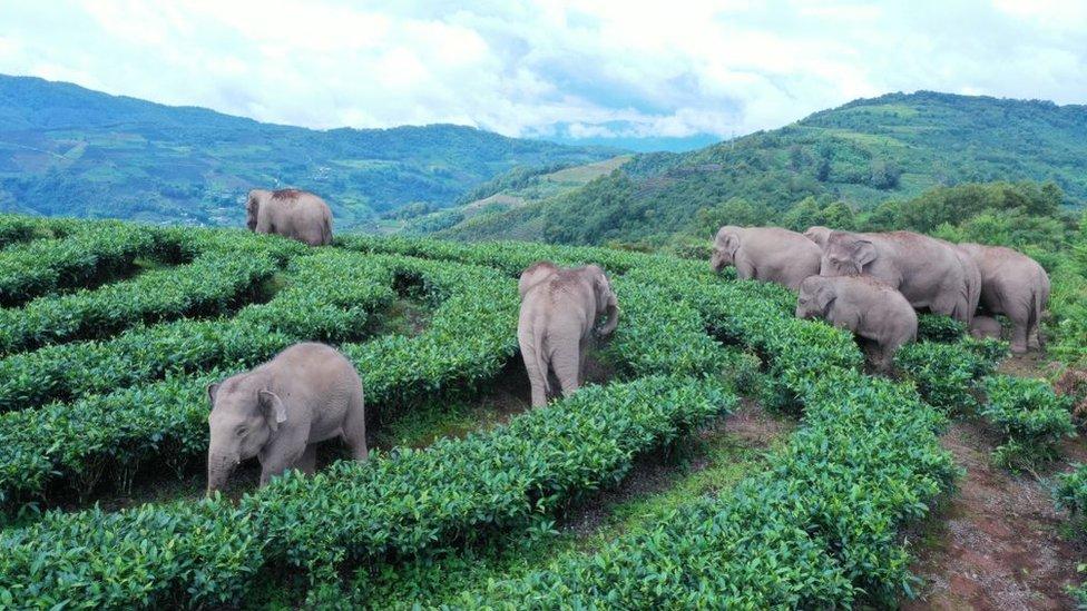 Slonovi tumaraju po usevima poljoprivrednika