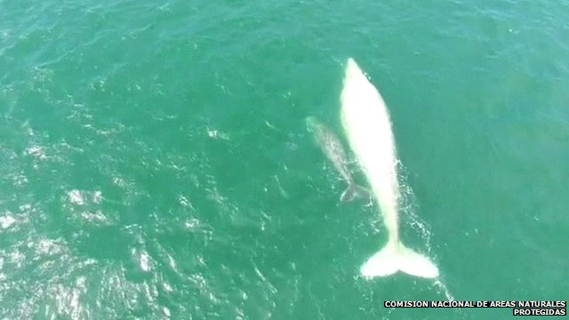 White whale and its calf