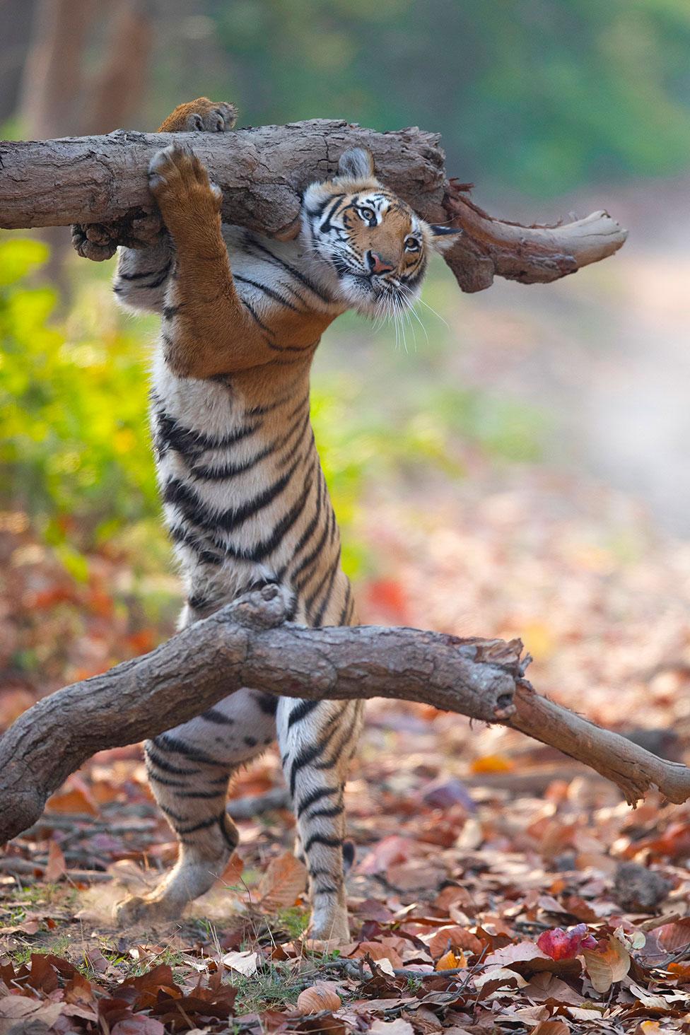 Un tigre se sujeta de una rama
