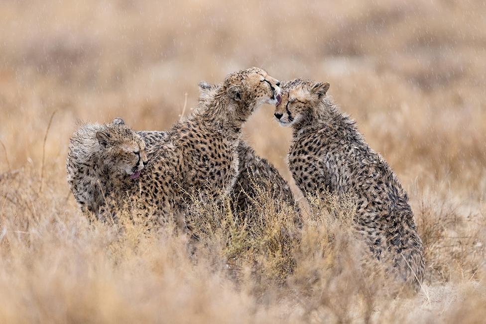 tri geparda