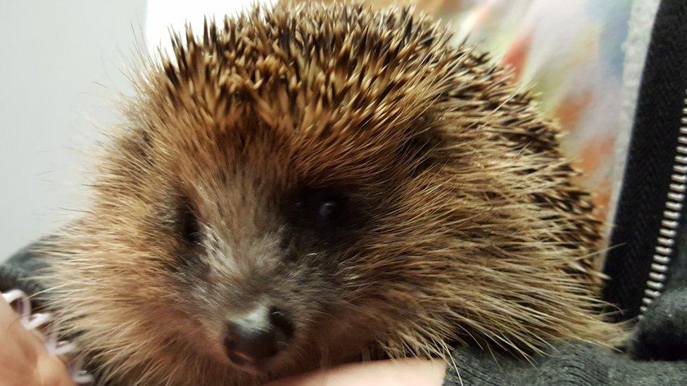 Stephen the hedgehog