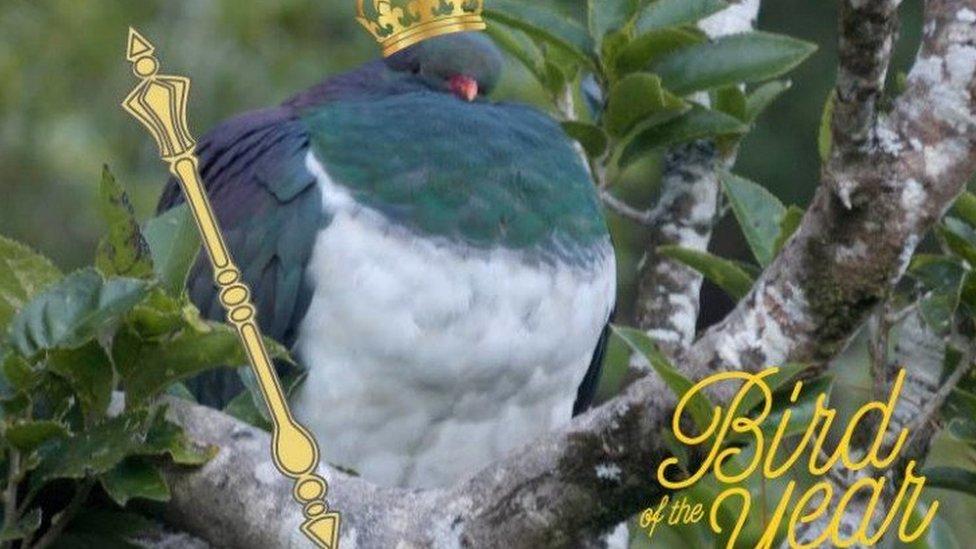 Kereru bird