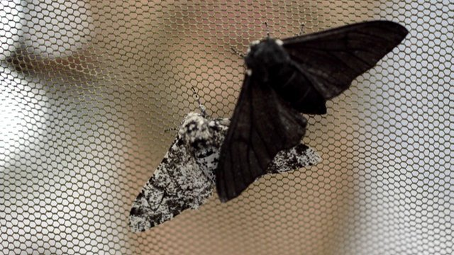 Peppered moths (c) University of Liverpool